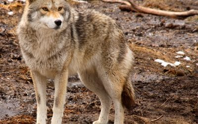 Pet Safety during Coyotes Matting Season