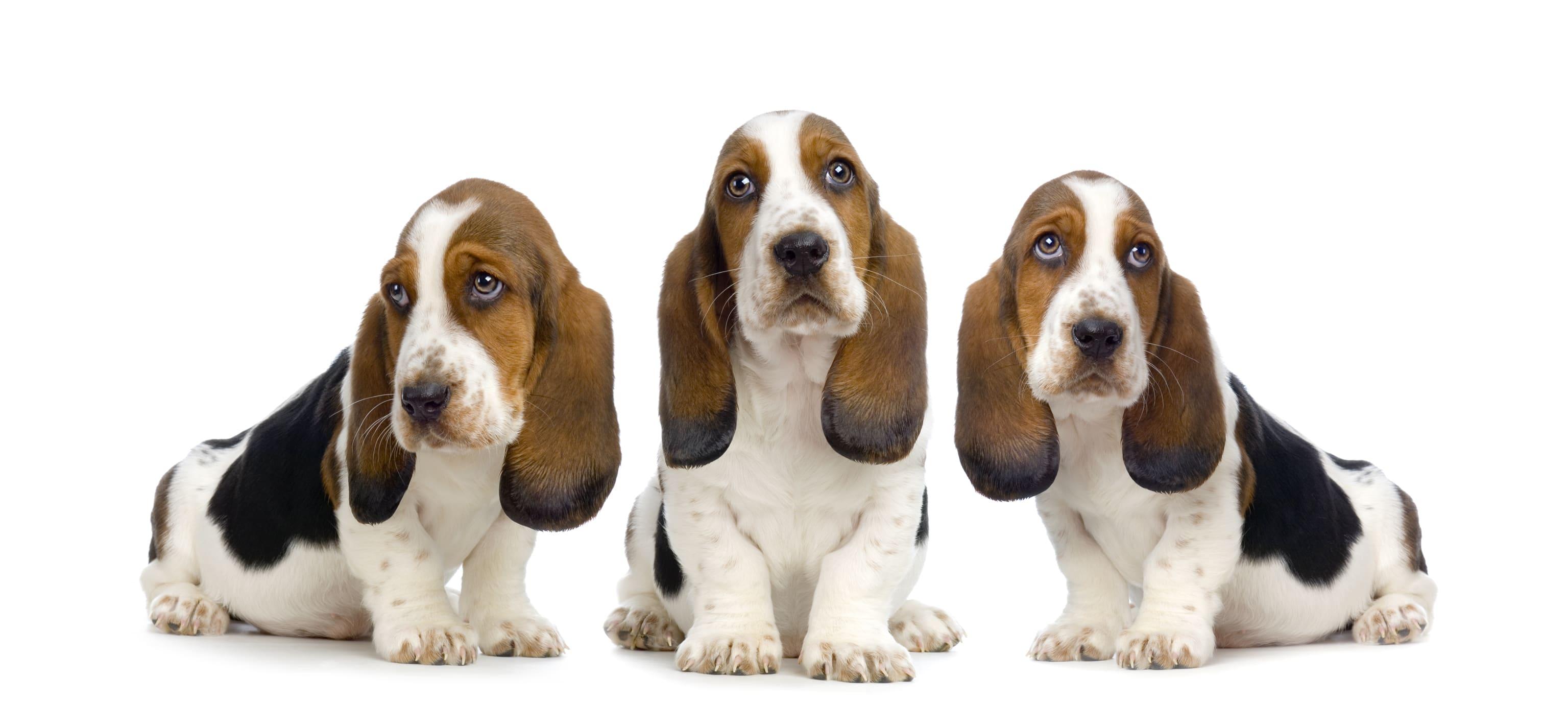 HUFF 'S HOUNDS - AKC Basset Hound Puppies