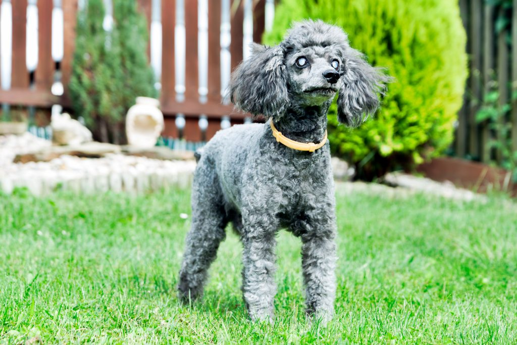 Blindness In Dogs And What You Can Do For Your Blind Dog Love And