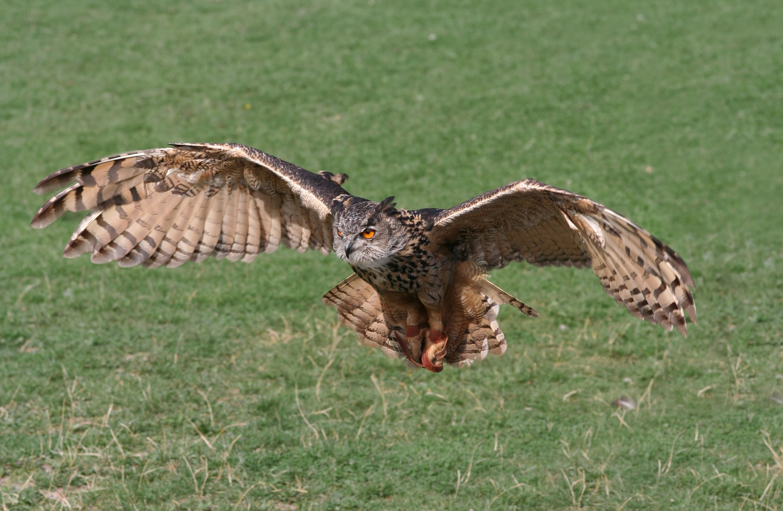Warning About Owls Hunting Your Pets In Union County Nc Love And Kisses Pet Sitting Nc