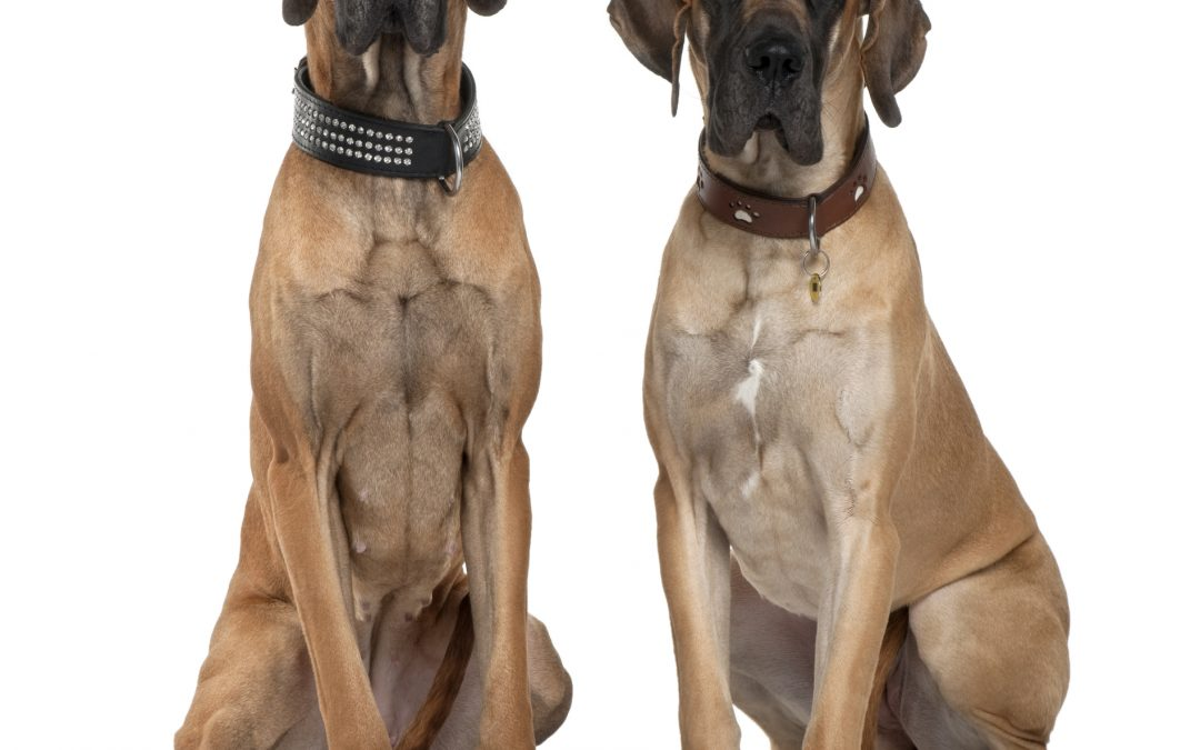7 Secrets TO Becoming The Best Large Breed Dog Owner