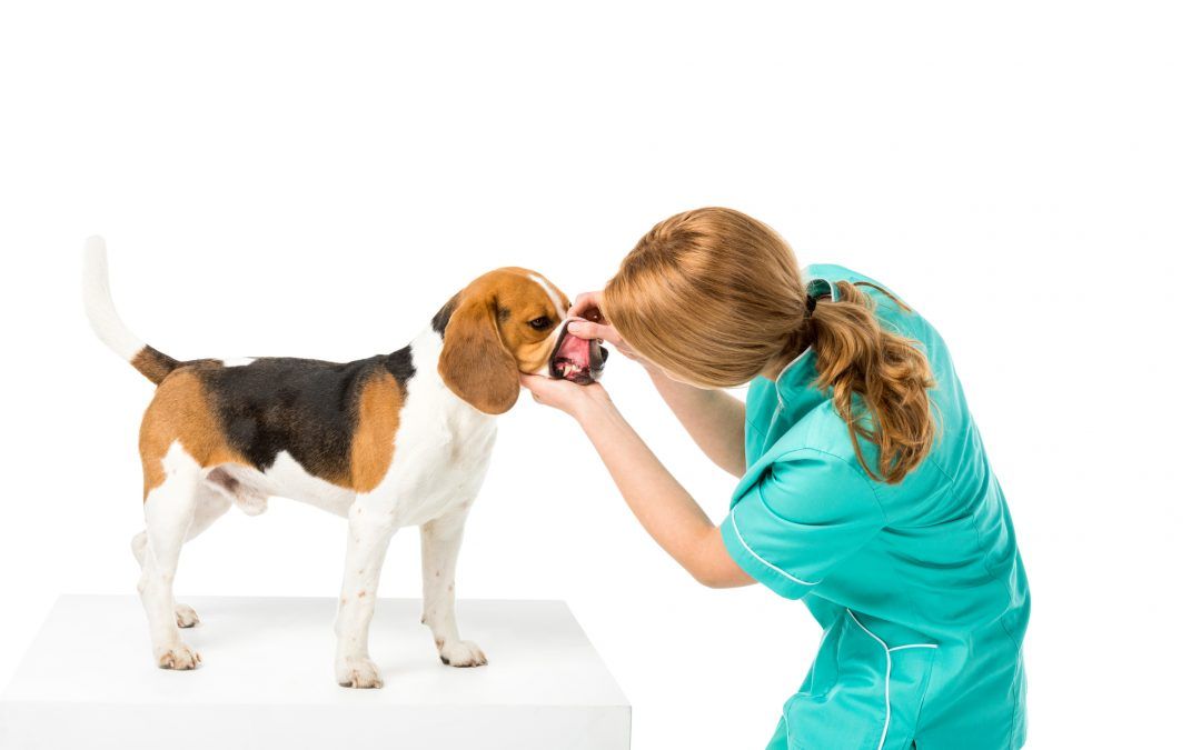 ENLARGED GUMS IN DOG: CAUSES AND TREATMENTS