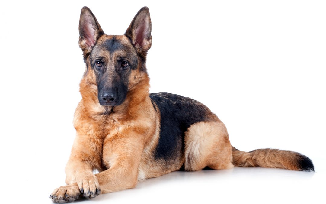 What is an Executive Protection Dog?