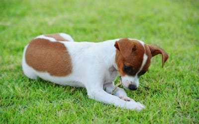 Why Do Dogs Eat Grass? Is it safe?