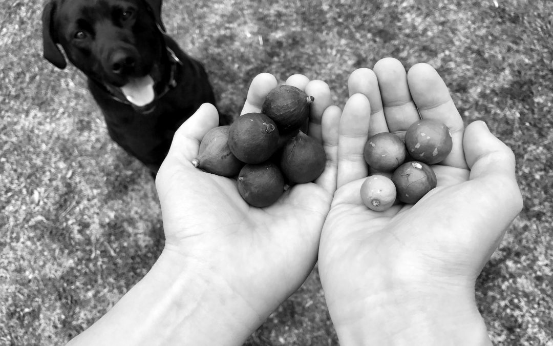 Dangers of Macadamia Nuts For Dogs