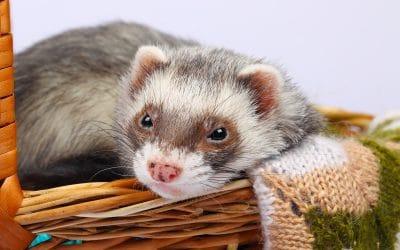 Ferret Pet Sitter