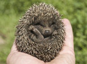 Hedgehog pet sitter