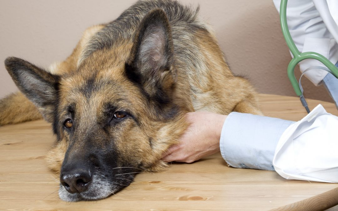 A helpful guide on relieving your dog's liver disease