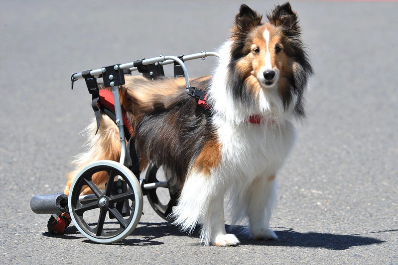 5 Tips to Train Your Pooch to Use a Dog Wheelchair