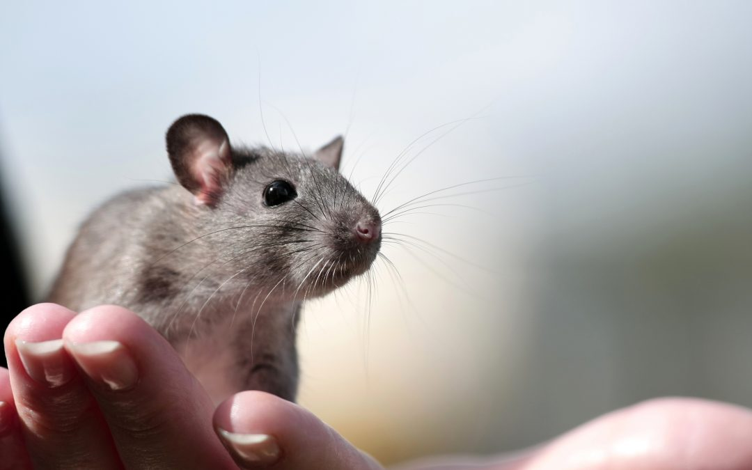 Caring For Your Pet Rat When You Can't Be There